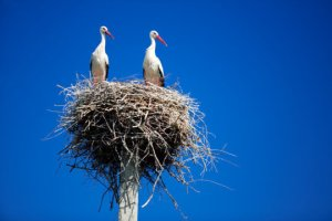 Like many animals without distinctive dimorphism, white storks are monogamous--for a while.