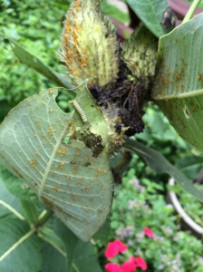 A monarch caterpillar is unconcerned about aphid damage on the milkweed.