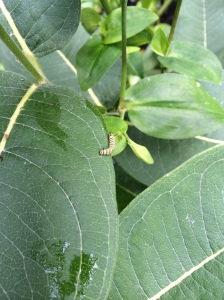 Relocated and rushing to the underside of the leaf
