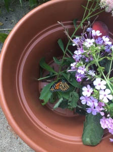 I put her in her room in my breezeway and covered her with a laundry basket. In the morning, once the temperature was above 65 F, I brought her outside to greet the sun. Before I could snap a photo, she climbed to the phlox, took a sip, and soared away into the morning.